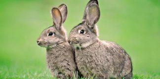 Two rabbits.